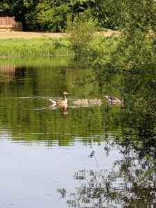 Geese and Goslings on a lake